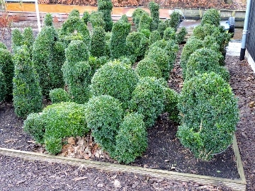 Buxus 360 br.