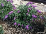 Buddleja Dreaming Purple