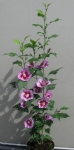 Hibiscus Purple Pillar