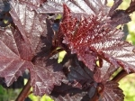 Physocarpus Midnight