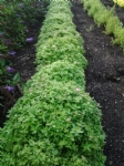 Spiraea japonica Green Carpet