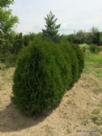 Thuja occidentalis 'Green Egg'