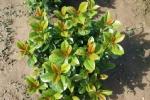 Prunus laurocerasus 'Ani'