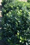 Prunus laurocerasus 'Gabi'