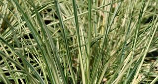 BAMBOE-EN-GRASSEN