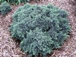 Juniperus squam. 'Blue Start'