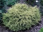 Juniperus squamata 'Dream Joy'