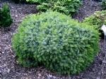 Picea omorika 'Tremonia'