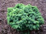 Picea pungens 'Mrs. Ceasarini'