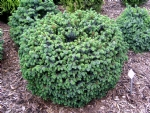 Picea sithensis 'Papoose'
