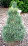 Pinus cembra 'Pillar'