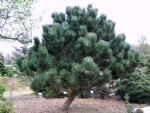 Pinus nigra 'Geant de Suisse'
