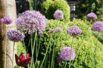 Allium met buxusvak.JPG