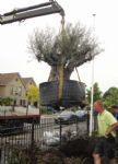 aanleg olijfboom transport.JPG