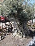 olijfboom 200 jaar oud.JPG