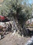 oude_olijfboom.JPG