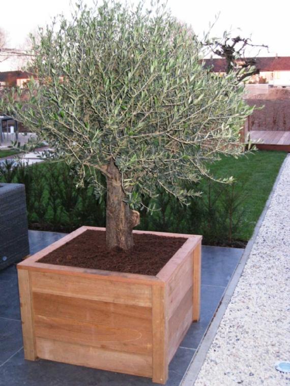 Olijfboom in harhouten bak jpg for Spiegelvijver bak