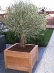 olijfboom in harhouten bak.JPG