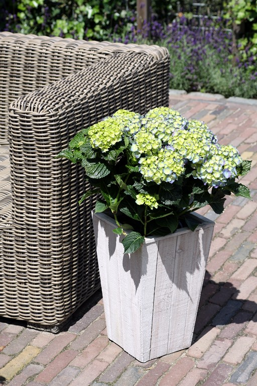 Hydrangea in Scaffolding Wooden Pot