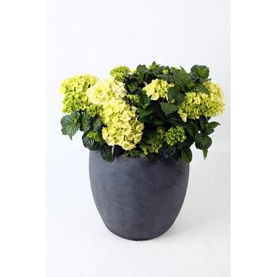 Hydrangea in Ball Pot