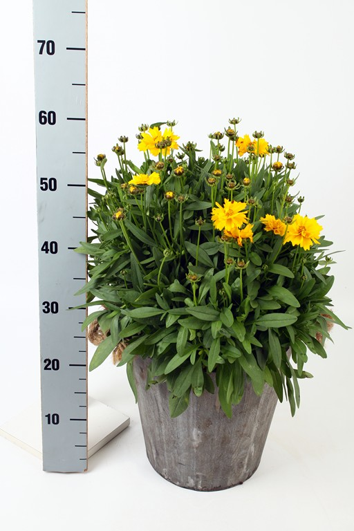 Coreopsis in Wooden Pot