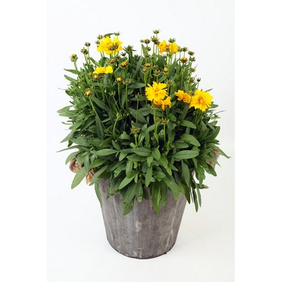 Coreopsis-in-Wooden-Pot
