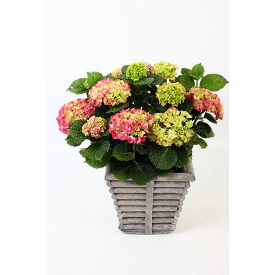 Hydrangea-in-Square-Rib-Pot