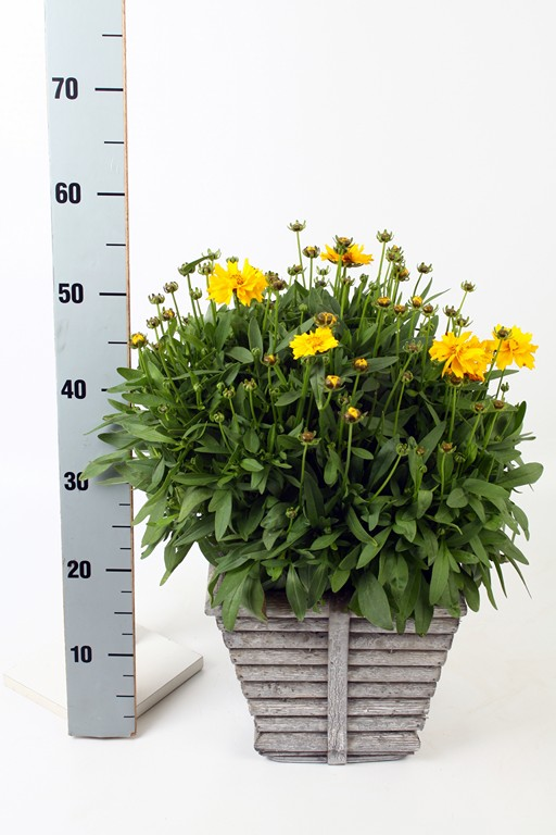 Coreopsis in Square Wooden Rib Pot
