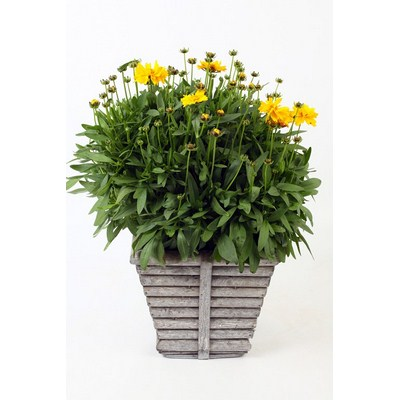 Coreopsis-in-Square-Wooden-Rib-Pot