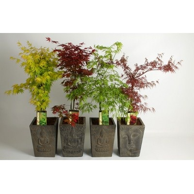 Acer-in-Buddha-Pot-Large