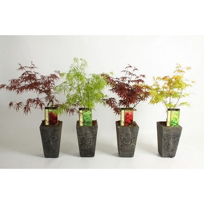Acer in Buddha Pot Small