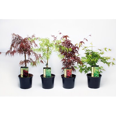 Acer Palmatum in varieties