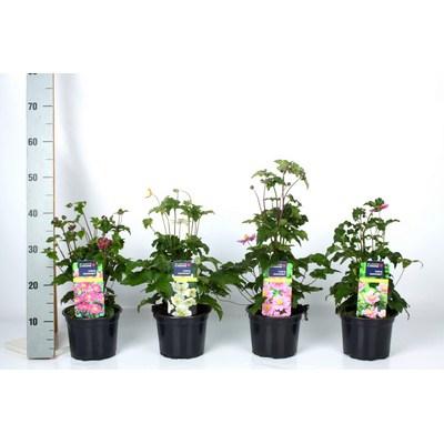 Anemone Hybrida Mix
