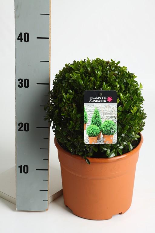Buxus Ball Ø 20-22 cm
