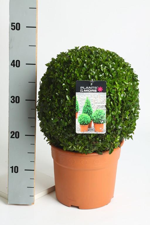 Buxus Bol Ø 28-30 cm