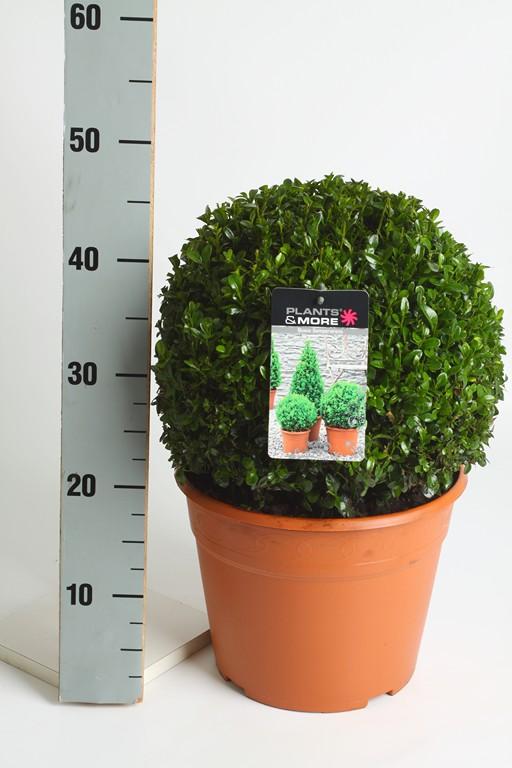 Buxus Ball Ø 30-35 cm