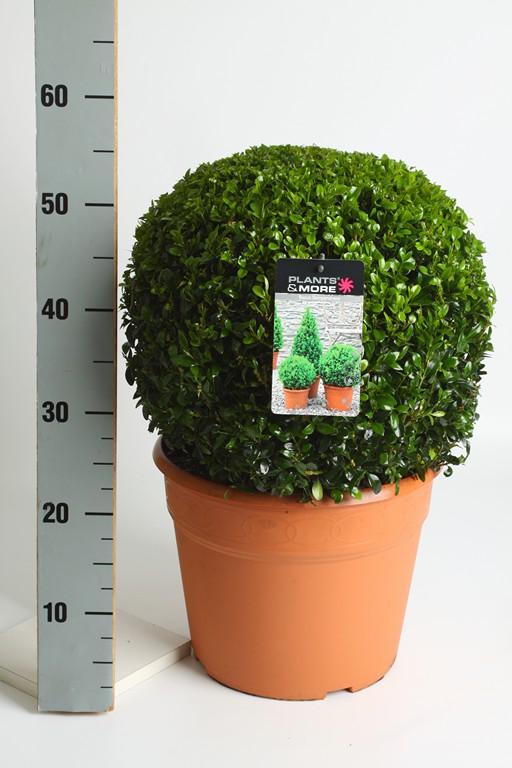 Buxus Ball Ø 35-40 cm