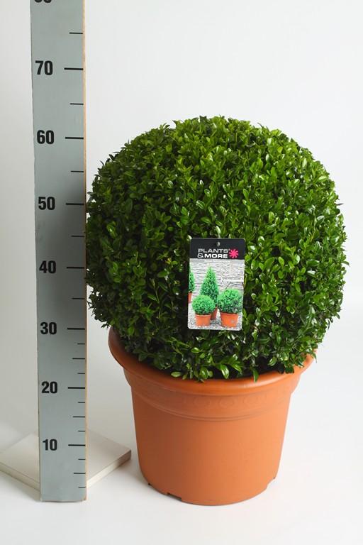 Buxus Bol Ø 40-50 cm