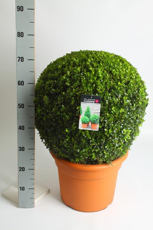 Buxus Bol Ø 50-60 cm