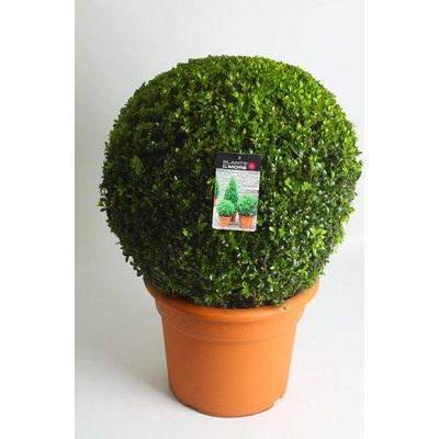 Buxus Ball Ø 50-60 cm