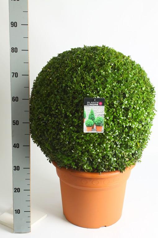Buxus Ball Ø 60-70 cm