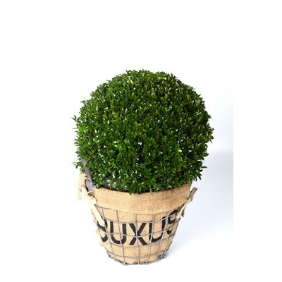 Buxus-Ball-in-Zinc-Frame-with-Burlap