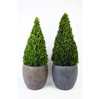 Buxus-Pyramid-in-Bsll-Pot