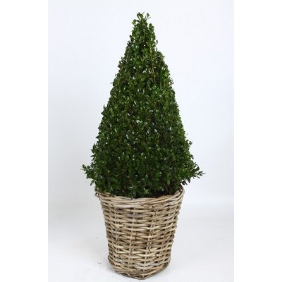 Buxus-Pyramid-in-Wooden-Basket