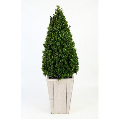 Buxus-Pyramide-in-Scaffolding-Wooden-Pot