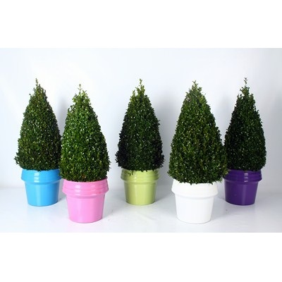 Buxus-Pyramid-in-Zinc-Colour-Pot