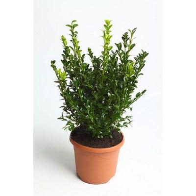 Buxus Bush 40-50 cm
