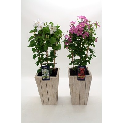 Clematis in Scaffolding Wooden Pot
