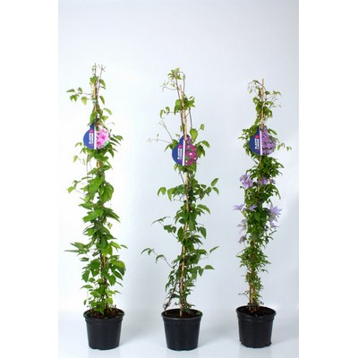 Clematis 1-stok Pyramide Rond