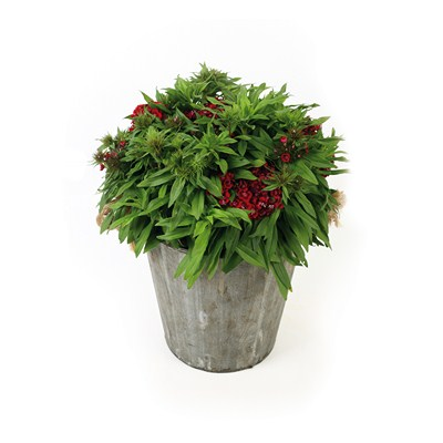 Dianthus-in-Wooden-Pot